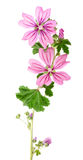 Mallow flowers. And leaves isolated on white background Stock Images