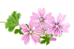 Mallow flowers. And leaves isolated on white background Royalty Free Stock Image