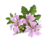 Mallow flowers Stock Images