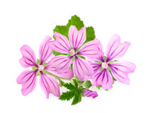 Mallow flowers Royalty Free Stock Image