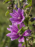 Mallow flowers. With the morning dew (Malva sylvestris Royalty Free Stock Image