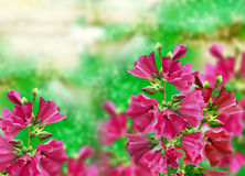 Mallow flowers. Pink flowers. Pink mallow flowers on a background summer landscape Royalty Free Stock Photo