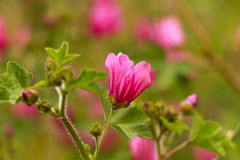 Mallow flowers. Pink mallow in sunny day Stock Photography
