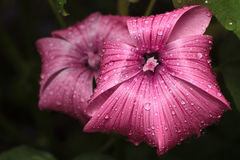 Mallow flowers after rain Stock Images