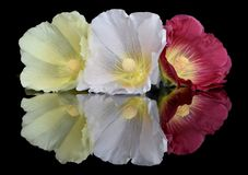 Mallow flowers in reflection. Yellow citric white and crimson mallow flowers on the glass with bright juicy reflections. Saturated and fresh flower buds. Pistils Royalty Free Stock Photo
