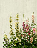 Mallow flowers. On a white plastered wall background Stock Image