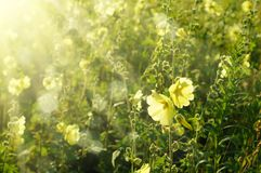 Mallow flowers. Yellow mallow flowers growing in the garden with sun rays Stock Images