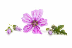 Mallow. Freshly harvested mallow flowers on white background Royalty Free Stock Image