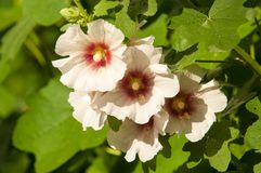Mallow. A herbaceous plant with hairy stems, pink or purple flowers, and disk-shaped fruit. Several kinds are grown as ornamentals, and some are edible Stock Photography