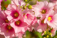 Mallow. A herbaceous plant with hairy stems, pink or purple flowers, and disk-shaped fruit. Several kinds are grown as ornamentals, and some are edible Royalty Free Stock Photos