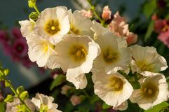 Mallow. A herbaceous plant with hairy stems, pink or purple flowers, and disk-shaped fruit. Several kinds are grown as ornamentals, and some are edible Royalty Free Stock Images