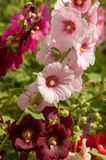 Mallow. A herbaceous plant with hairy stems, pink or purple flowers, and disk-shaped fruit. Several kinds are grown as ornamentals, and some are edible Stock Image