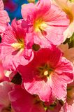 Mallow. A herbaceous plant with hairy stems, pink or purple flowers, and disk-shaped fruit. Several kinds are grown as ornamentals, and some are edible Royalty Free Stock Photo