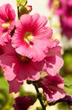 Mallow. A herbaceous plant with hairy stems, pink or purple flowers, and disk-shaped fruit. Several kinds are grown as ornamentals, and some are edible Royalty Free Stock Image