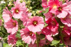Mallow. A herbaceous plant with hairy stems, pink or purple flowers, and disk-shaped fruit. Several kinds are grown as ornamentals, and some are edible Stock Images