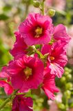 Mallow. A herbaceous plant with hairy stems, pink or purple flowers, and disk-shaped fruit. Several kinds are grown as ornamentals, and some are edible Royalty Free Stock Photography