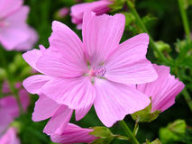 Mallow. Image of blooming mallow flower Stock Images