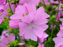 Mallow Stock Images