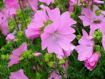 Mallow Royalty Free Stock Photography