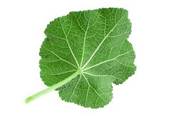 Mallow leaf on white. Mallow flower leaf isolatted on white background Stock Photos
