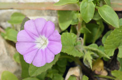Mallow-leaved Bindweed. Convolvulus althaeoides Stock Photo