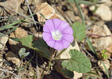 Mallow-leaved Bindweed. Convolvulus althaeoides Royalty Free Stock Photo