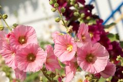 Mallow. A herbaceous plant with hairy stems, pink or purple flowers, and disk-shaped fruit. Several kinds are grown as ornamentals, and some are edible Stock Photos