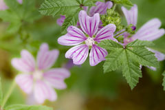 Mallow - Malva sylvestris. Close up of a wild mallow Stock Images