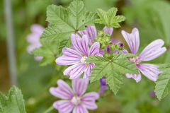 Mallow - Malva sylvestris. Close up of a wild mallow Royalty Free Stock Images