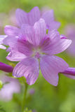 Mallow - Malva sylvestris. Blossom in a macro shot Stock Photos