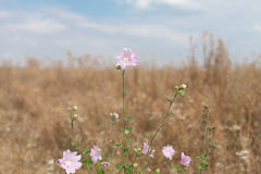 Mallow (Malva sylvestris). On dry grass background Stock Photos