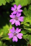 Mallow Malva sylvestris. Healing mallow Malva sylvestris in blossom Royalty Free Stock Image