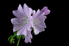 Mallow - Malva sylvestris - Large cheese poplar. On black background Stock Photo