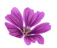 Mallow  Malva Sylvestris. Mallow flower  Malva Sylvestris isolated on white background Royalty Free Stock Photos