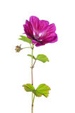 Mallow (Malva sylvestris mauritiana). Colorful and crisp image of mallow (Malva sylvestris mauritiana Stock Image