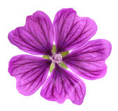 Mallow  Malva Sylvestris. Violet `Common Mallow` flower  Malva Sylvestris isolated on white background Stock Photos