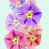 Mallow, malva. Seamless pattern texture of flowers.  Stock Photos