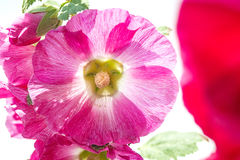 Mallow, medicinal plant Royalty Free Stock Photo