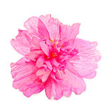 Mallow pink. Pink mallow flower with a light shade on white background Royalty Free Stock Photography