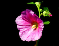 Mallow. Pink color mallow flower and bud Stock Photos