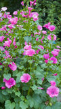 Mallow. Pink mallow flowers bush in the garden Stock Photography