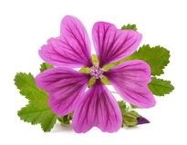 Mallow plant with flower. Isolated on white background Royalty Free Stock Photos