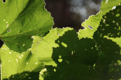 Mallow plant leaf. With tiny holes. Closeup under green leaves abstract light and shadows on sunny day Stock Images