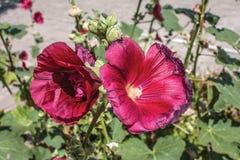 mallow Röd Hollyhock Härliga röda blommor av den årliga malvan Royaltyfri Bild