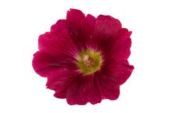 Mallow flower head on white. Mallow red flower head closeup isolated on white background Stock Image