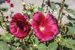 Mallow. Red Hollyhock. Beautiful red flowers of Annual mallow. Rose mallow, royal mallow and regal mallow. Red hollyhock blossom in the garden with vintage Royalty Free Stock Image