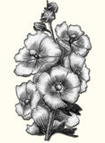 Mallow - sketch isolated. Big beautiful flowers of mallow. Pencil drawing Stock Photos