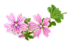 Mallow. Sprig with leaves and flowers isolated Stock Image