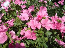 Mallow, stock-rose, or mallow, a popular ornamental plant in gardens in the recent past. Mallow, or a scavenger lat. Málva - herbaceous plants, a typical royalty free stock images