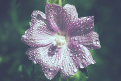 Mallow - water droplets. Mallow - Malva sylvestris - blossom with water droplets - Vintage-Look Stock Photography